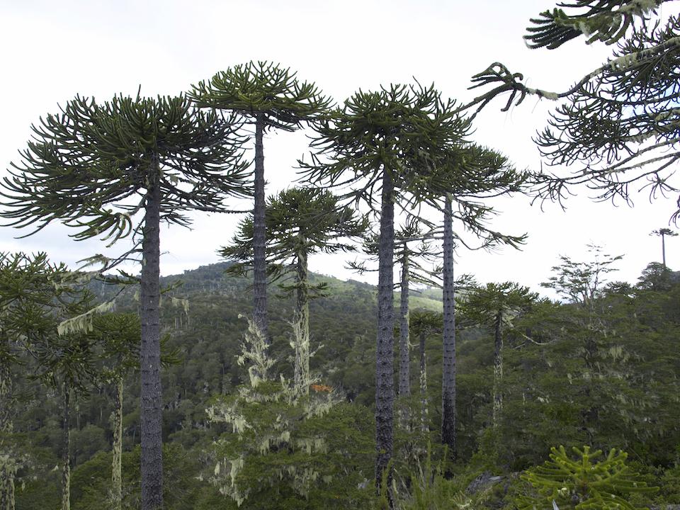 Pehuén-Wald in Argentinien
